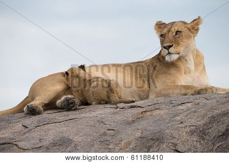 Lioness nursing cub in Serengeti