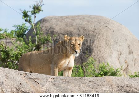 Lioness On Gol Kopjes In Serengeti National Park