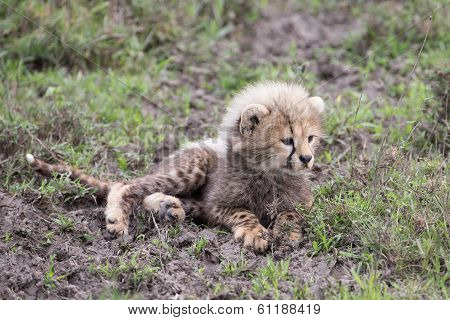 Cheetah Cub With Mother In Serengeti National Park