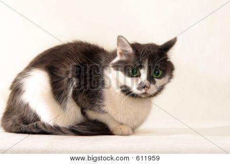 Gray-white Cat