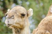 picture of dromedaries  - A close up profile view of an arabian camel also known as Camelus dromedarius - JPG