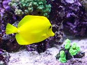Yellow Tropical Fish Swimming In The Sea