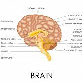 foto of temporal lobe  - vector illustration of diagram of human brain anatomy - JPG