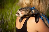 stock photo of ferrets  - ferret on the shoulder of his mistress in the sunset