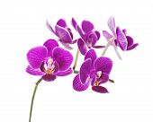 Rare Purple Orchid Isolated On White Background.