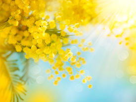 stock photo of mimosa  - Mimosa Spring Flowers Easter background - JPG