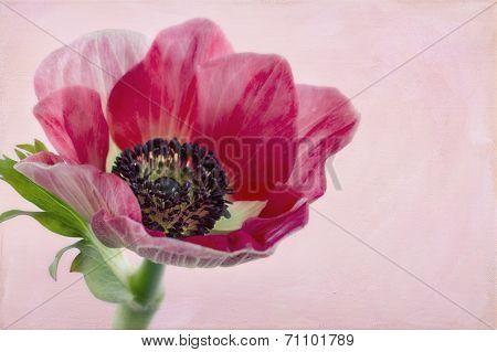 Closeup Of Anemone Flower2