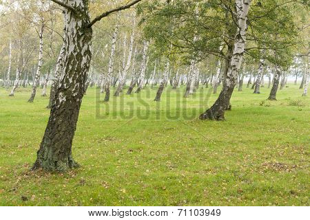 Leaning birches on a meadow.