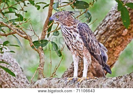 Crested Hawk Eagle At Wilpattu National Park