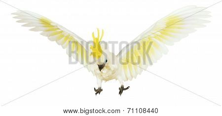 Sulphur-crested Cockatoo On The White Background