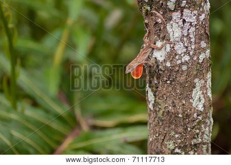 Brown Anole Lizard On A Tree