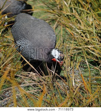 Close Up Of A Guineafowl Hen