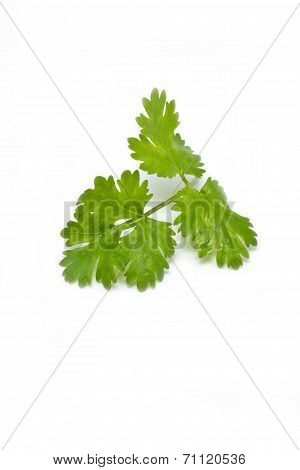 Fresh Coriander (cilantro) Herb Isolated On A White Background.