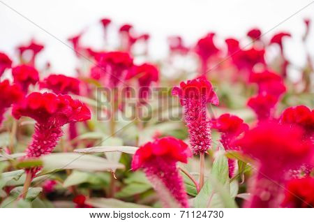 Red Celosia Or Wool Flowers Or Cockscomb Flower