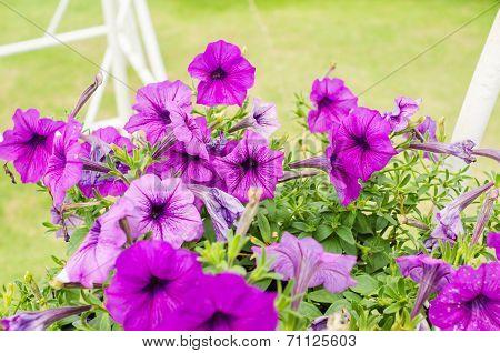 Violet Petunia Or Petunia Hybrida Vilm