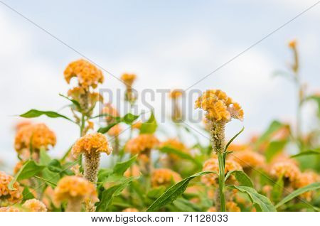Orange Celosia Or Wool Flowers Or Cockscomb Flower