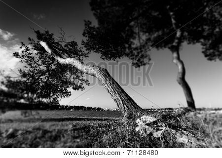 old pine trees, black and white photo