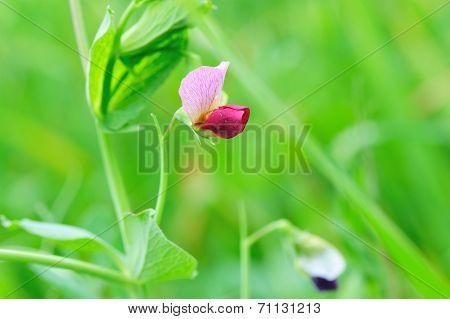 green pea flower