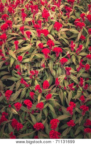 Red Celosia Or Wool Flowers Or Cockscomb Flower Vintage
