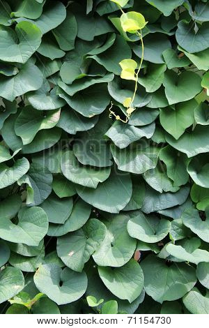Healthy,lush ivy