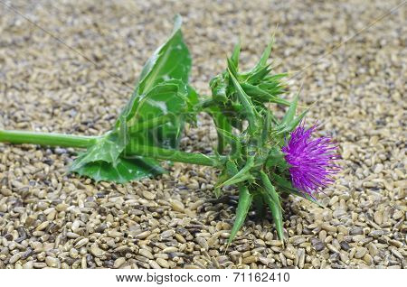 Herb Milk Thistle Silybum Marianum