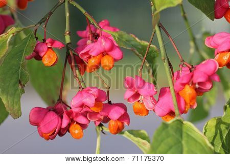 Fruit Of European Spindle Tree