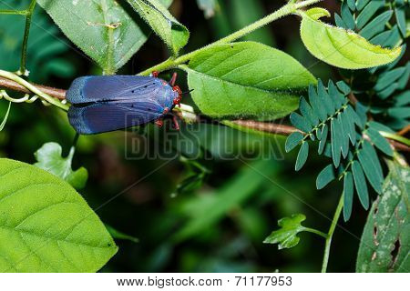 Red And Blue Plant Hopper