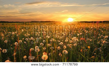 Dandelion Hayfield At Sunset