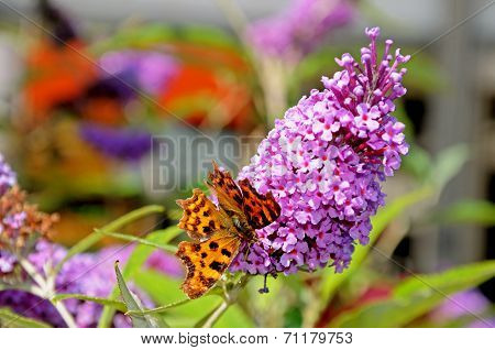 Comma butterfly on buddleja.