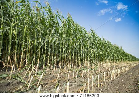 Silage corn maize green stems cut on field