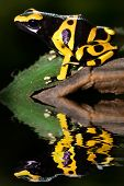 stock photo of poison arrow frog  - Poison dart frog dendrobates leucomelas with reflection - JPG