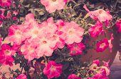 picture of petunia  - Petunia or Petunia Hybrida Vilm in the garden or nature park vintage  - JPG