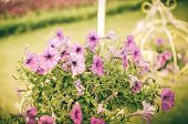 picture of petunia  - Violet Petunia or Petunia Hybrida Vilm in the garden or nature park vintage