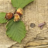 picture of hazelnut tree  - freshly picked hazelnuts on the background of the old board - JPG