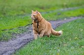 picture of fondling  - Red cat walks in the line with the autumn grass on a leash  - JPG