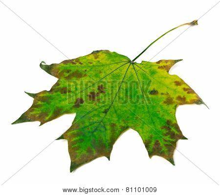 Multicolor Maple Leaf On White Background