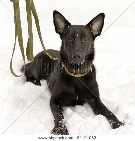 Cute Black German Shepherd Dog With A Big Ears Laying In A Snow