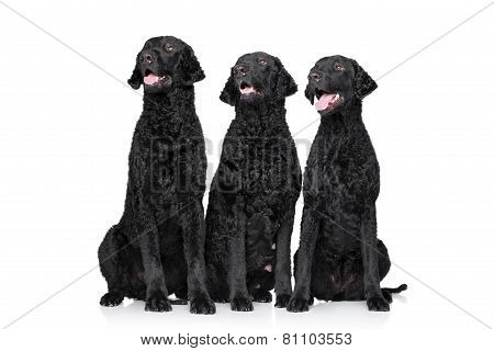 Three Black Curly Coated Retrievers