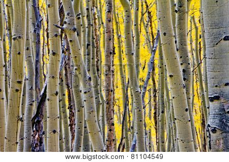 Aspen Tree Forest Background