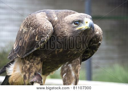 Eagle Hawk - Close Up Portrait