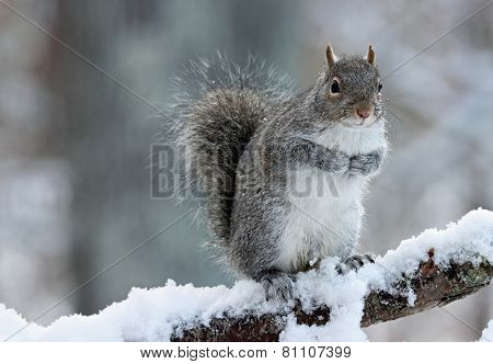 Wintertime Squirrel