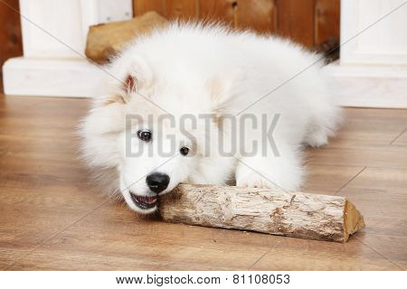 Playful Samoyed dog with firewood on wooden floor and fireplace on background