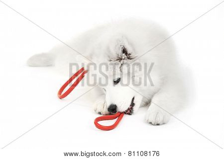 Friendly Samoyed dog with red leash isolated on white