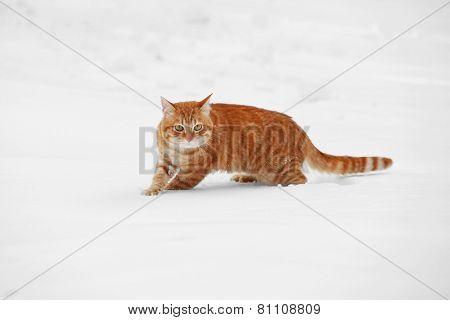Red cat walking over white snow background