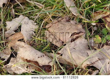 Agile Frog (rana Dalmatina, Bonaparte) In Autumn Leaves