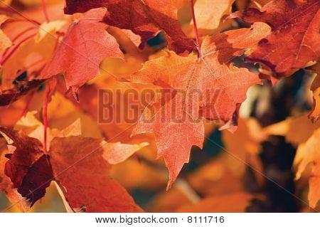 Acer Grandidentatum Nutt. Bigtooth Maple Closeup In Autumn