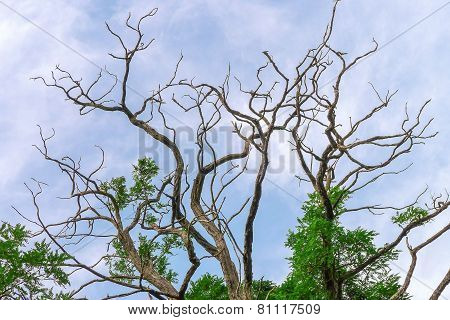 Treetop with bare and green branches