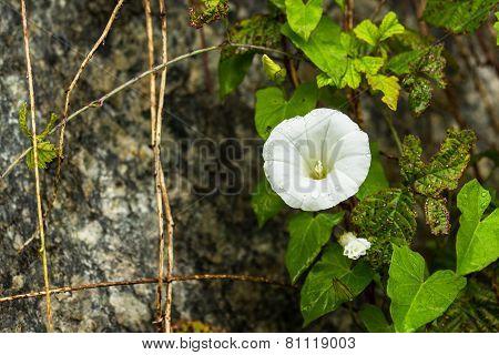 Convolvulus Flowers In A Garden