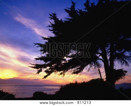 monterey cypress/pacific ocean