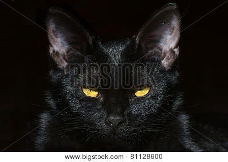 Portrait of black domestic cat isolated on a dark background